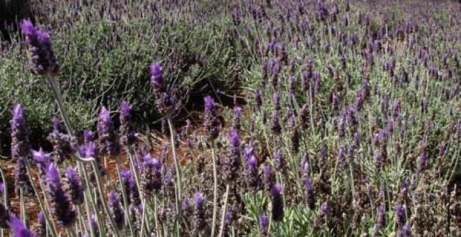 Pottique Lavender Farm